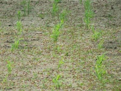 タカキビの畑