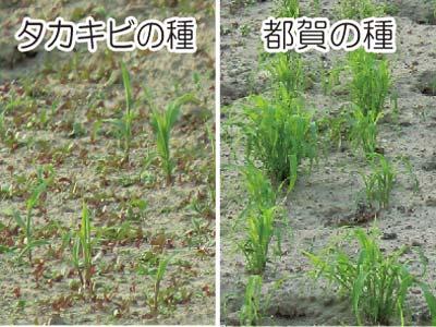 都賀・タカキビの種の比較