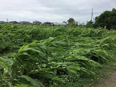 台風ではありませんが、この時期では珍しい強風と雨が続き、ほうき草が倒れてしまったようです。