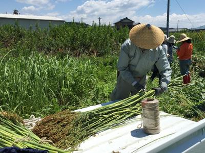 収穫したほうき草